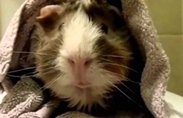 Interview with a Guinea Pig?